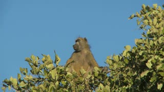 Baboon Sitting On Top Of Tree