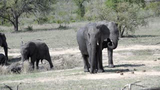 Baby elephant walks away with two big elephants in Kruger National Park South Africa