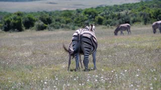 Baby zebra finished drinking from his mother in Addo Elephant National Park South Africa