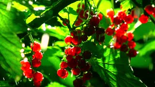 Back lit red currant bush in the rain at night. Super slow motion close up shot, 500 fps