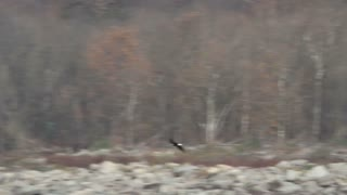 Bald Eagle Flying Over River Rocks