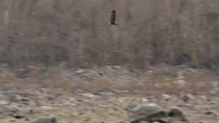 Bald Eagle Hunting Over River