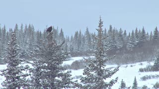 Bald Eagle Launches From Atop a Spruce Tree in Winter