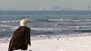 Bald Eagle Looking Out at Scenic Sea and Distance Mountains