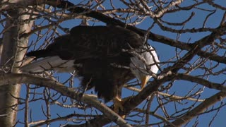 Bald Eagle on Tree Branches