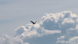 Bald Eagle Soaring Against Clouds