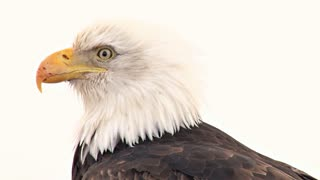 Bald Eagle With Scarred Beak Looking Around