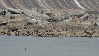 Bald Eagles and Birds Perched on River Rocks