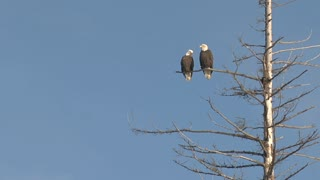 Bald Eagles Perched