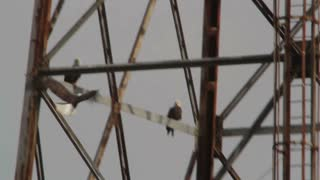 Bald Eagles Perching on Electric Tower