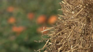 Bale of Hay and Pumpkin Patch Background Out of Focus