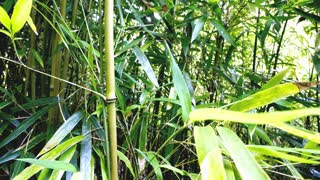 Bamboo Leaves Timelapse