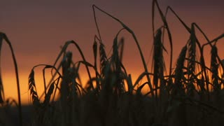 Barley Silhouettes With Sunrise