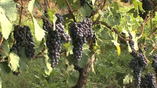 Barolo Nebbiollo Grapes on Vine 2
