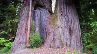 Base of Giant Redwood Tree