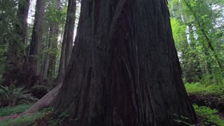 Base of Redwood Tree