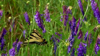 Beautiful Butterfly in Purple Flowers