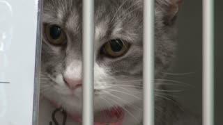 Beautiful Gray Cat in Cage at Animal Shelter
