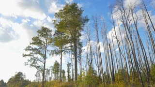Beautiful green cypress swamp trees in sunny wetlands