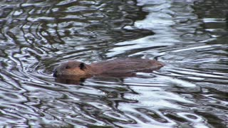 Beaver Swimming in Water