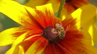 Bee flying away from yellow flower. Super slow motion macro video shot at 250 fps