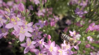Bee flying over pink flowers a sunny day. Slow motion