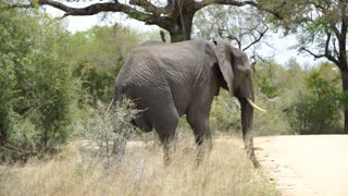 Big elephant crossing the road in Kruger National Park South Africa