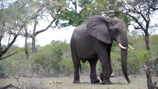 Big elephant passing by in Kruger National Park South Africa