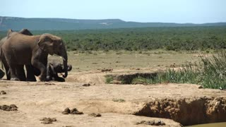 Big Elephant walk towards the herd around the waterpool in Addo Elephant National Park South Africa