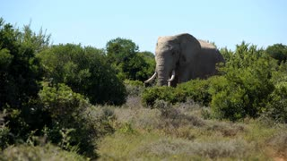 Big elephant walking in the bush in Addo Elephant National Park South Africa