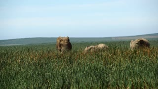 Big elephants in Addo Elephant National Park South Africa