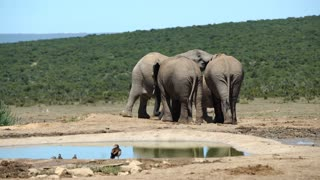Big elephants playing with each other in Addo Elephant National Park South Africa