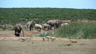 Big herd of elephants and a couple warthogs around the waterpool in Addo Elephant National Park South Africa