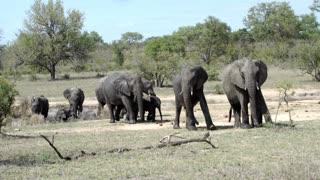 Big herd of elephants around a small waterpool in Kruger National Park South Africa