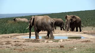 Big herd of elephants around the waterpool in Addo Elephant National Park South Africa