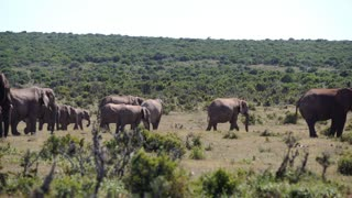 Big herd of elephants in Addo Elephant National Park South Africa