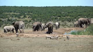 Big herd of elephants walking around the waterpool in Addo Elephant National Park South Africa