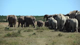 Big herd of elephants walking away in Addo Elephant National Park South Africa