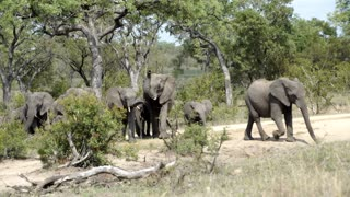 Big herd of elephants walking towards a small waterpool in Kruger National Park South Africa