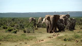 Big herd of elephants walking towards the camera in Addo Elephant National Park South Africa