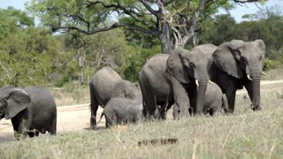 Big herd of elephants with baby elephants in Kruger National Park South Africa