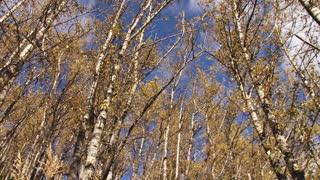 Birch Forest Pan