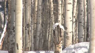 Birch Trees Close Up