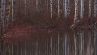 Birch Trees Reflecting On Water