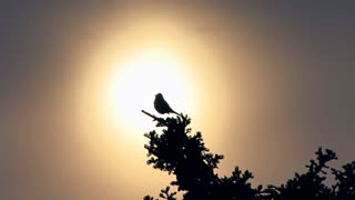 Bird Chirping in Treetop Backlit by Setting Sun