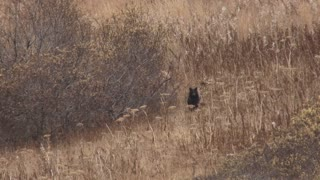 Black Bear Cub Bounding Across Field in Autumn
