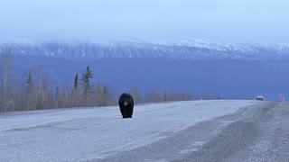 Black Bear on the Highway as Truck is Approaching