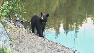 Black Bear Standing by Lake Shoreline Runs Away
