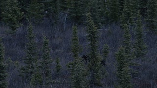 Black Bear Walking in Dark Yukon Territory Forest
