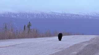 Black Bear Walking on Yukon Territory Highway